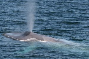 Blue whale sightings increase off South Georgia