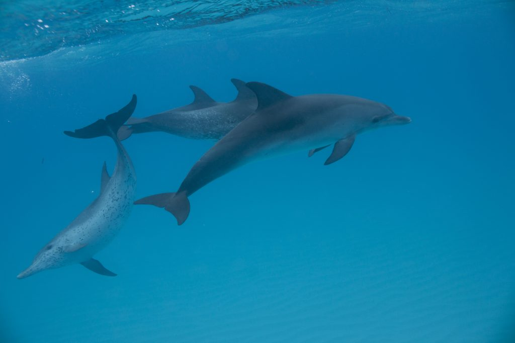 spotted-dolphins-vanessa-mignon