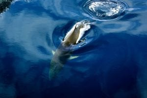 Minke whale calls drowned out by ocean noise