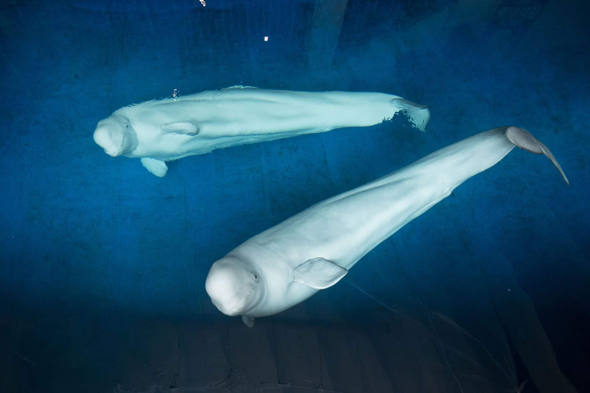 Preparations continue for release of beluga whales into sanctuary bay