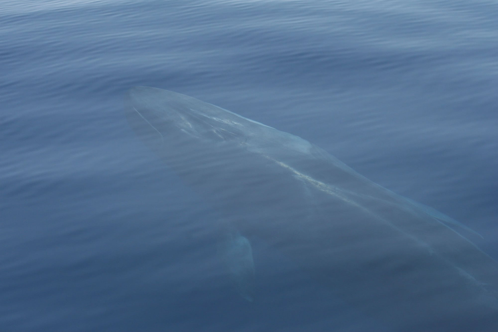 Icelandic fin whales win a reprieve this summer