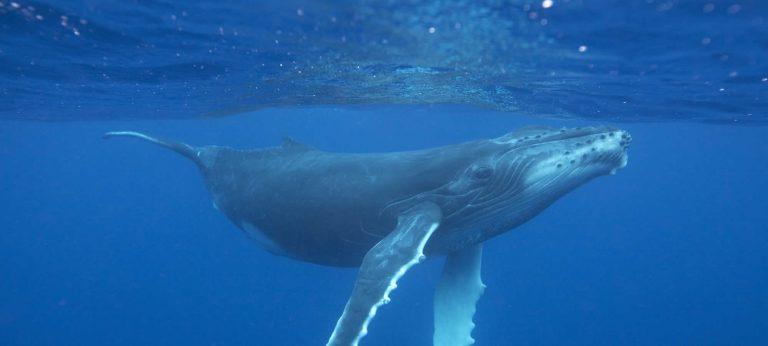 Humpback whale © Vanessa Mignon