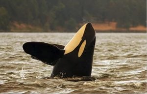 Southern Resident orca L92 missing as community returns to the Salish Sea
