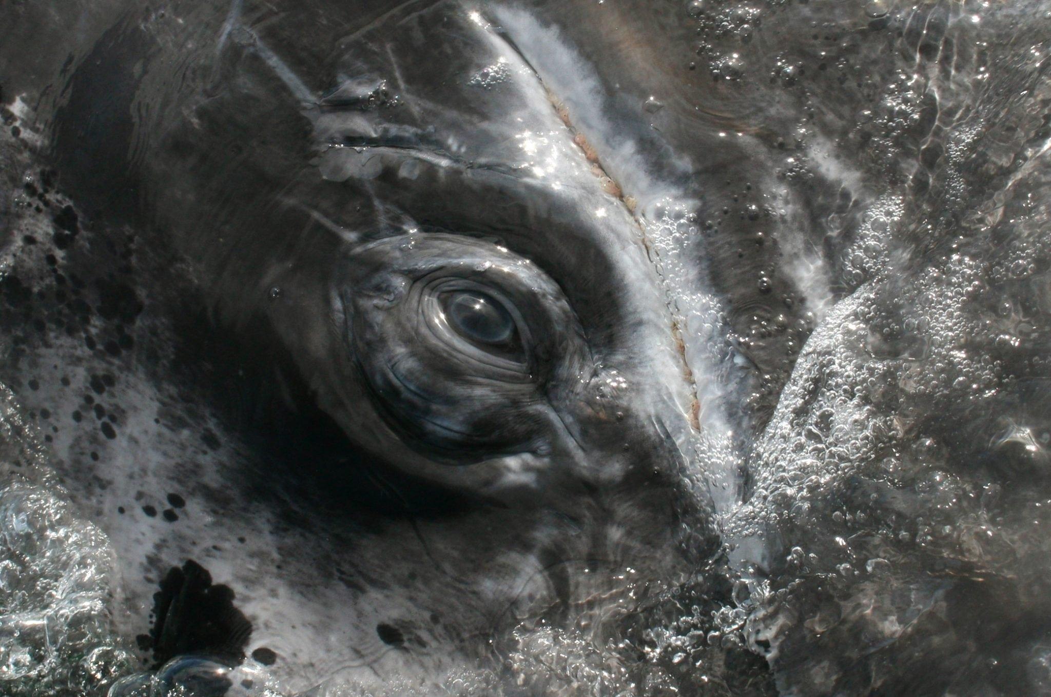 Grey whale eye