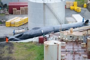 Icelandic whalers breach international law and kill iconic, protected whale by mistake
