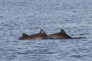 European nations under pressure to save the critically endangered Baltic harbour porpoise