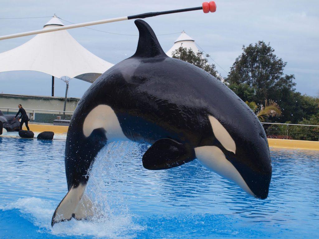 Morgan the orca in captivity © C. Robles