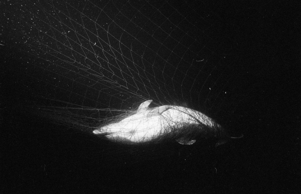 Dead dolphin in a French driftnet