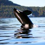 Orca - Rob Lott