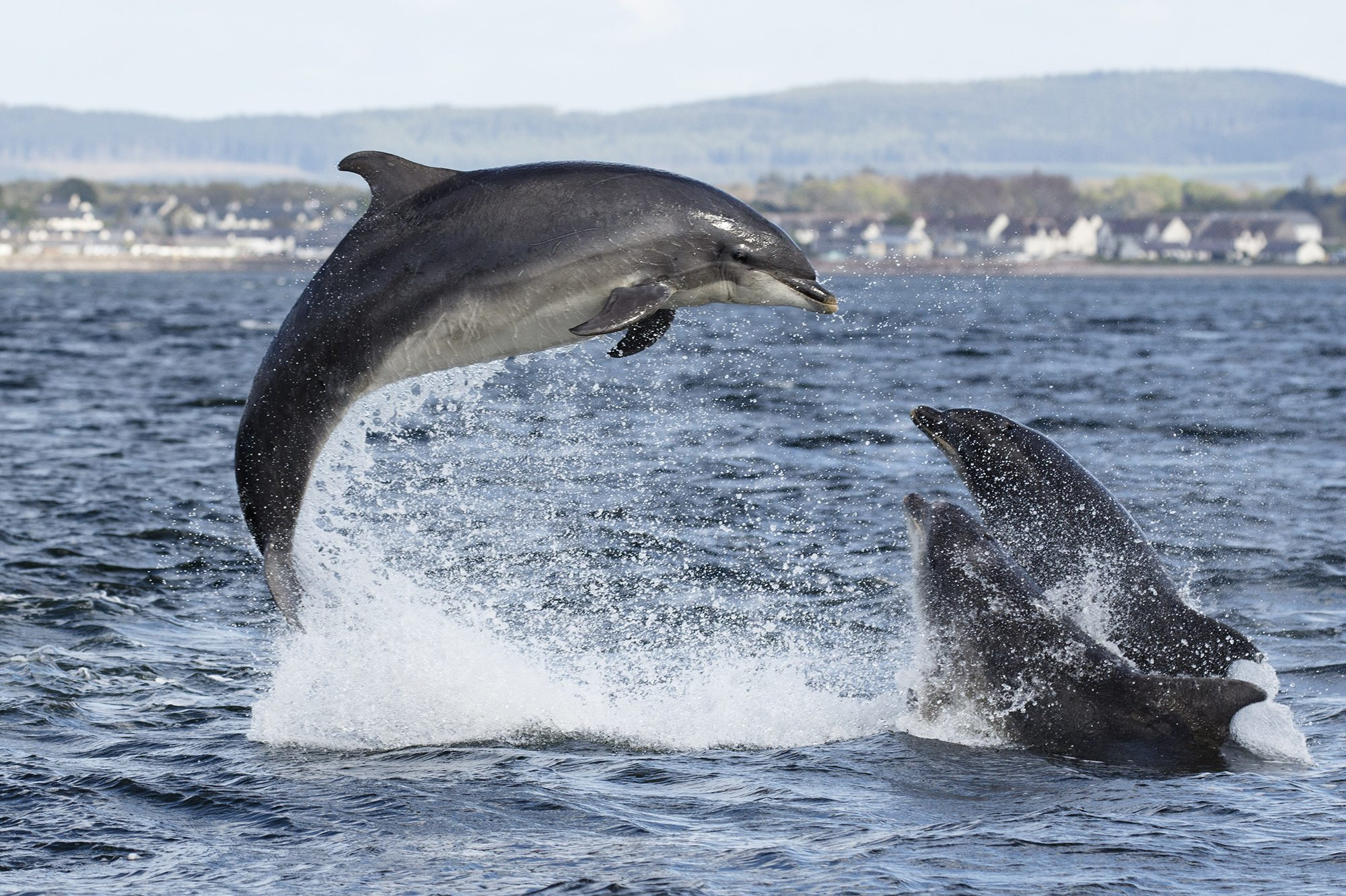 Bottlenose dolphins leaping
