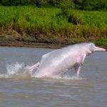 Amazon River dolphin (Boto)
