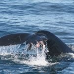Whale tail injured by ship strike