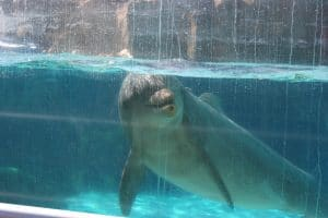 Bottlenose dolphin in captivity