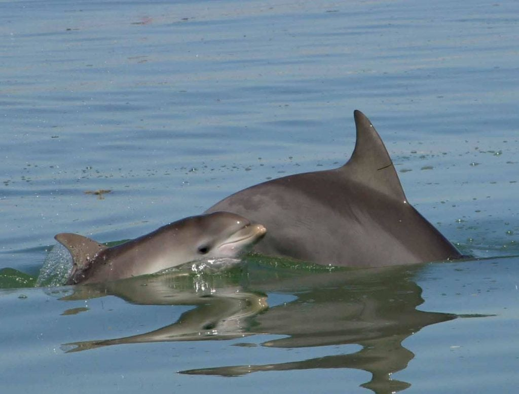 Indo-Pacific bottlenose dolphin with calf