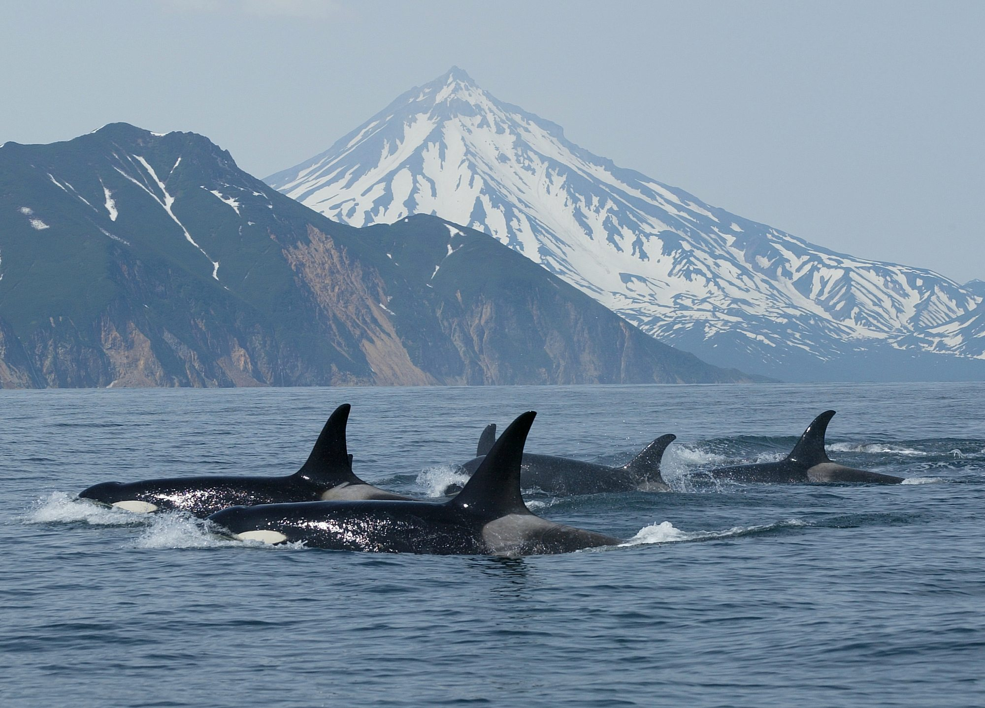 Orcas in far east Russia.