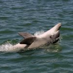 Port River dolphin