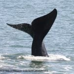 North Atlantic right whale fluke