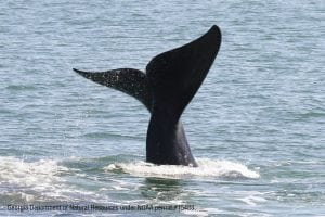 Are right whales 'whispering' to avoid predators?