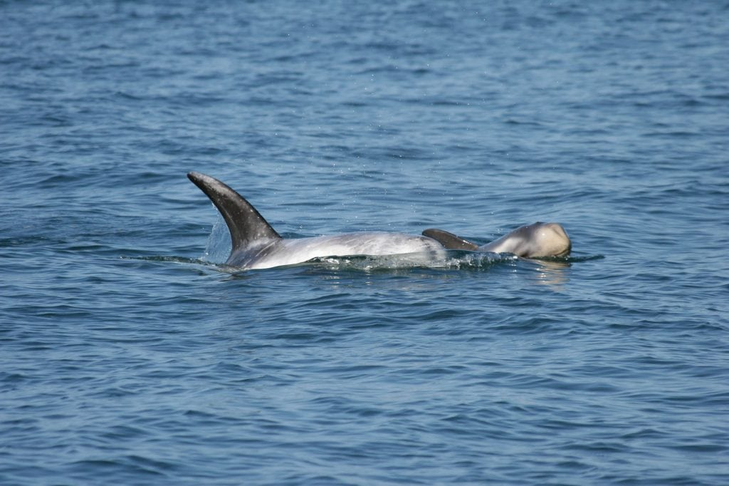 Report reveals area considered for protection is a UK baby dolphin 'hotspot'