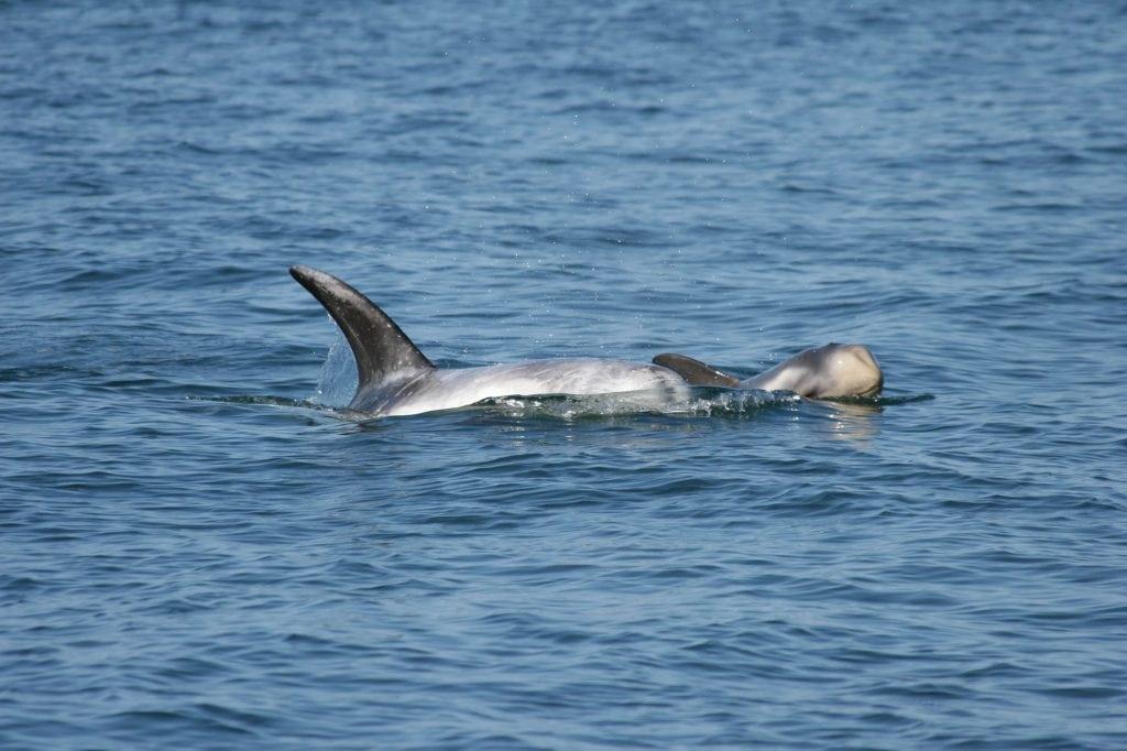 Risso's dolphin