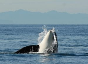 New orca calf reported in endangered Southern Resident J pod