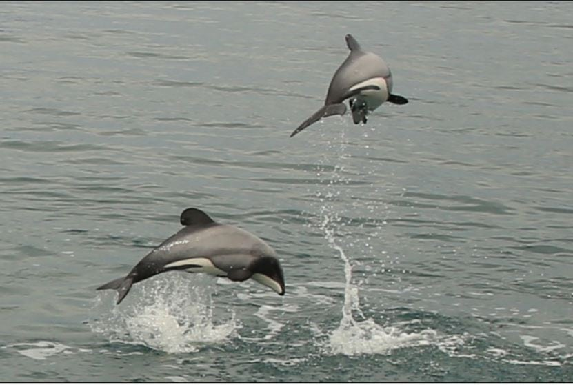 New Zealand dolphins leaping