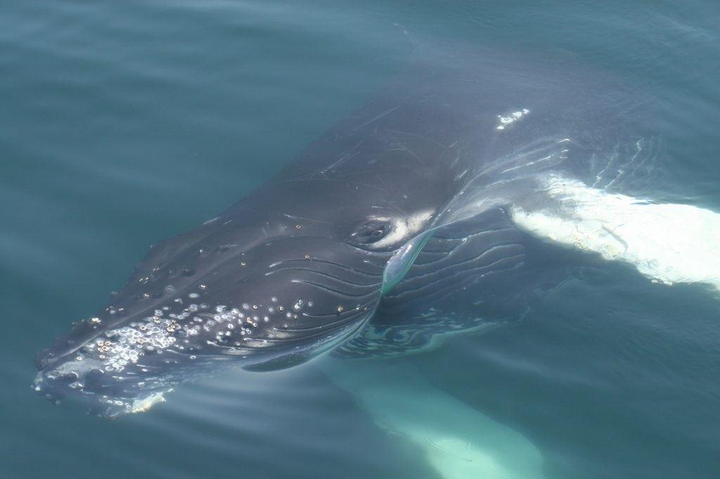 Adopt a humpback whale - Salt