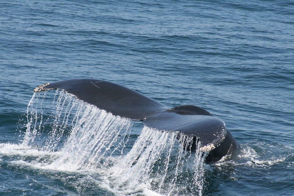 adopt a humpback salt