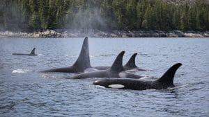 Adopt an orca Simoom
