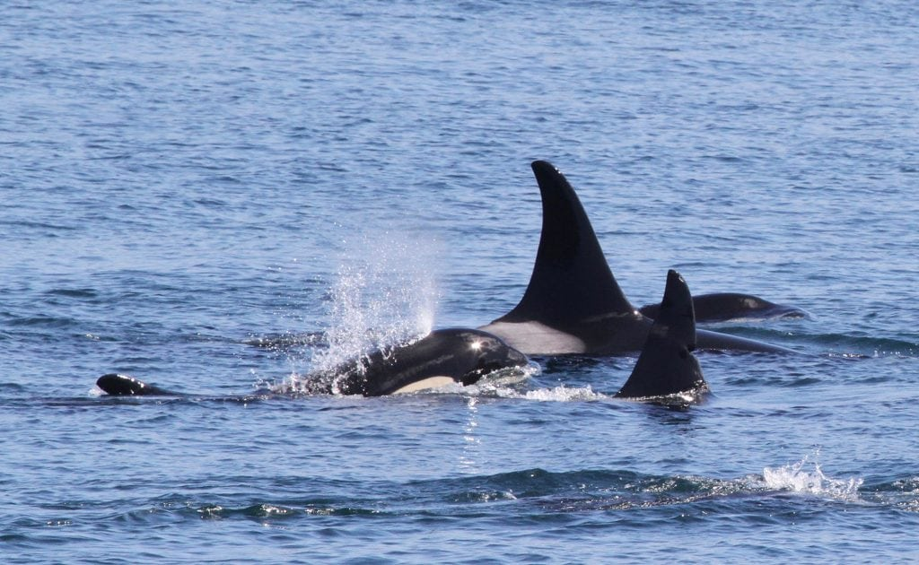 Orca - Bend with family pod