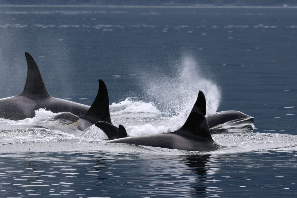 Bend - orca with family pod in British Columbia