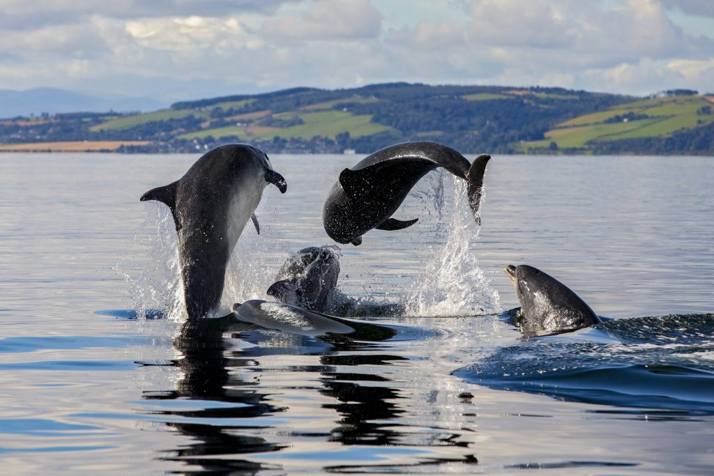 Pod of dolphins in Moray Firth