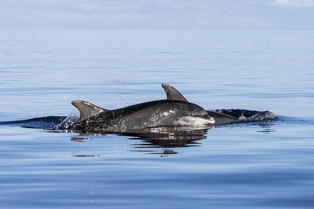 Adopt a dolphin Spirit