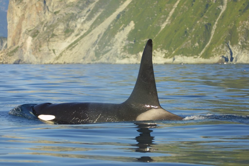 Meet the different types of orcas - Whale and Dolphin ...