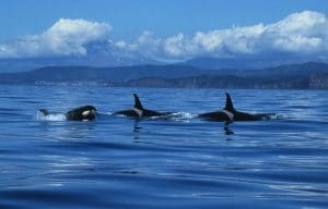 Half the world's orca populations in peril from chemical pollution