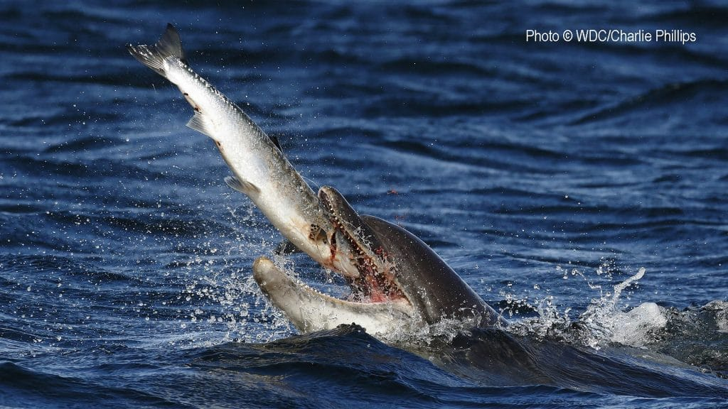 bottlenose_dolphin_zephyr_with_salmon_june_2015_charliephillips