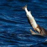 Dolphin eating a salmon