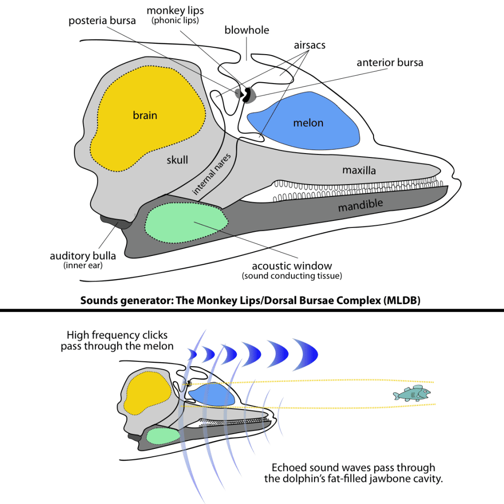 Illustration showing how dolphin echolocation works.
