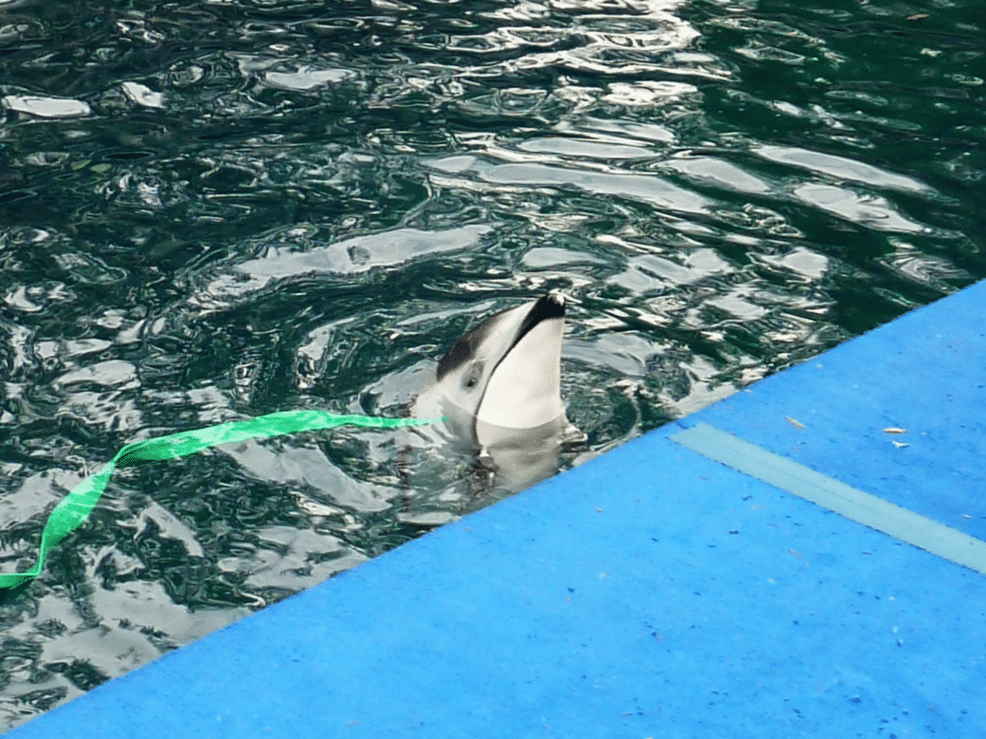 This is Helen, now the sole dolphin held at Vancouver Aquarium