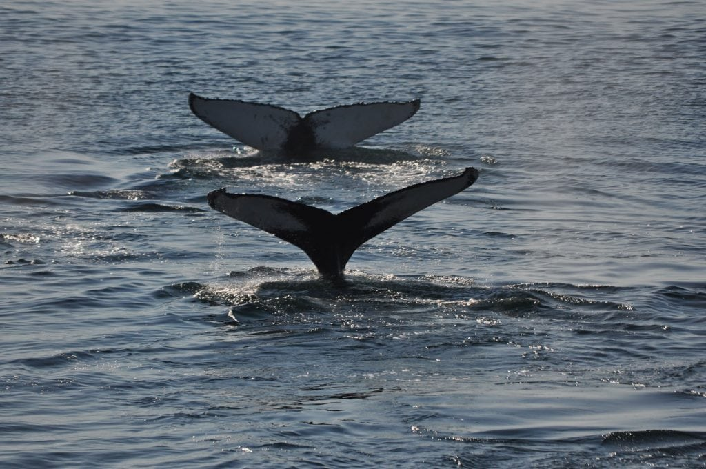 Why do whale and dolphin tails go up and down?