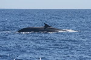 Fin whales controversially taken off endangered list