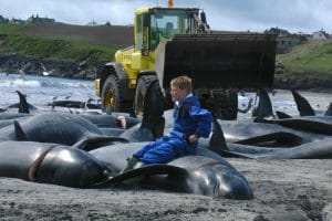 250 whales slaughtered in Faroes hunt