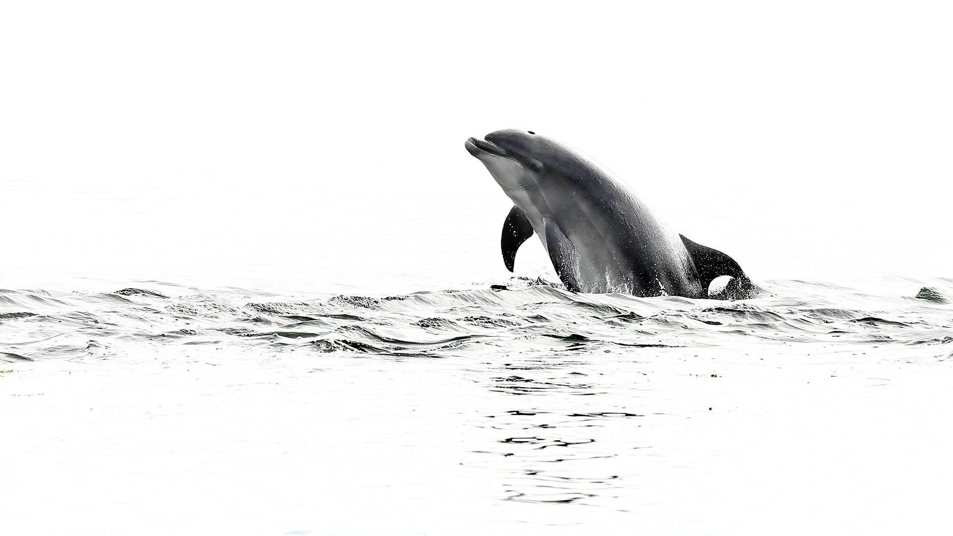 A pod of bottlenose dolphins lives in Cardigan Bay