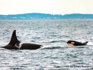 What will life hold for the new Southern Resident orca baby?