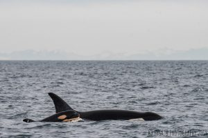 New Southern resident orca born!