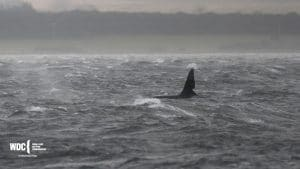 Wow – orcas pay a surprise visit to Scotland's Moray Firth!