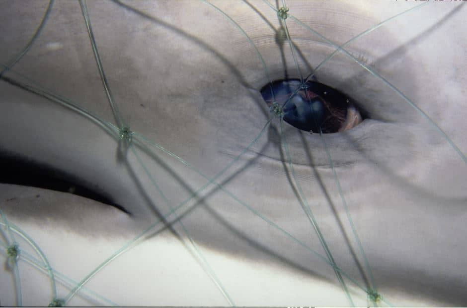 A dolphin trapped in a fishing net