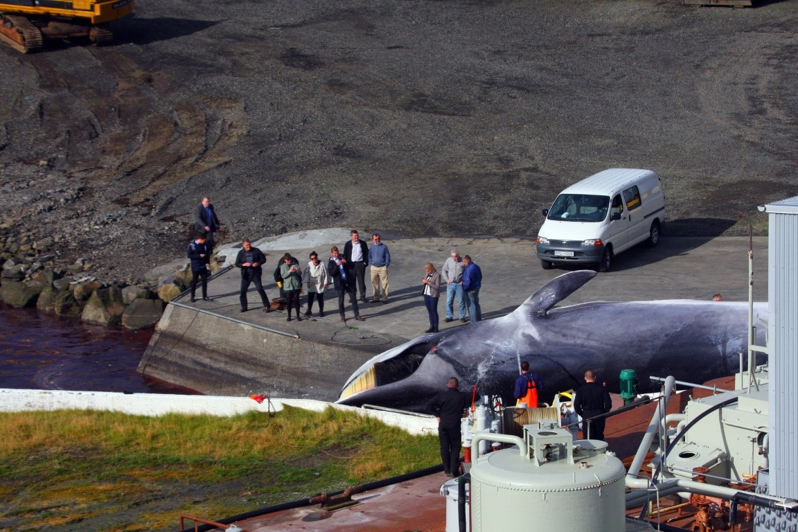 A fin whale is hauled up the slipway while Kristjan Loftsson (in beige trousers and blue jumper) and cronies watch
