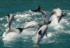 Extinction emergency – we need action right now to save New Zealand dolphins