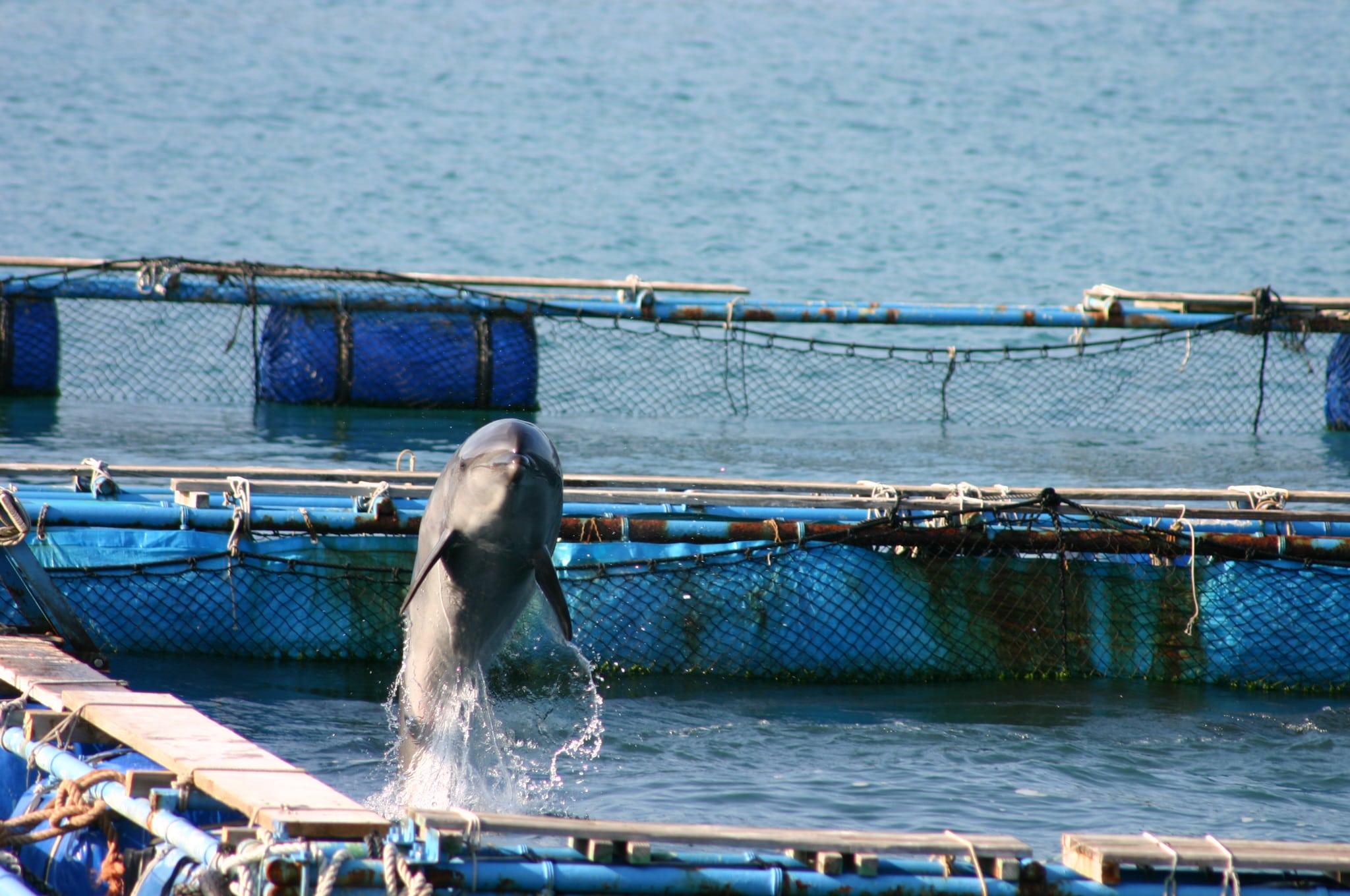 Dolphin are selected from the chaos of the hunt for the captive display industry and they have the potential to endure extreme physical and psychological suffering